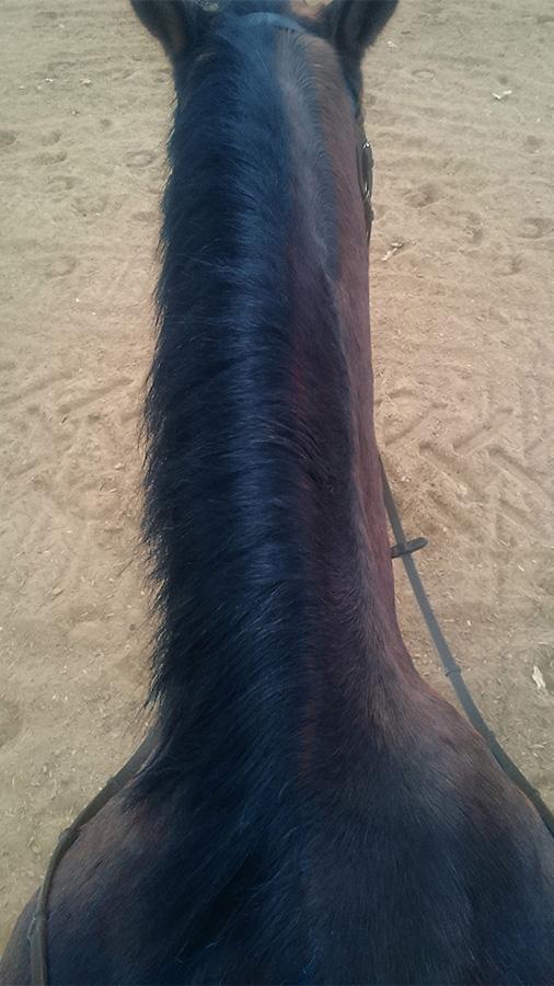 ABC der Pferdeausbildung: schlecht ausgeprägte Halsmuskulatur