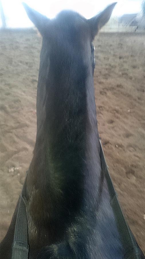 ABC der Pferdeausbildung: starke Halsmuskulatur