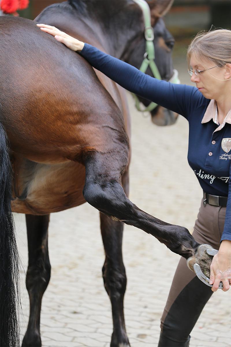 Pferdephysiotherapie an der Hüfte des Pferdes