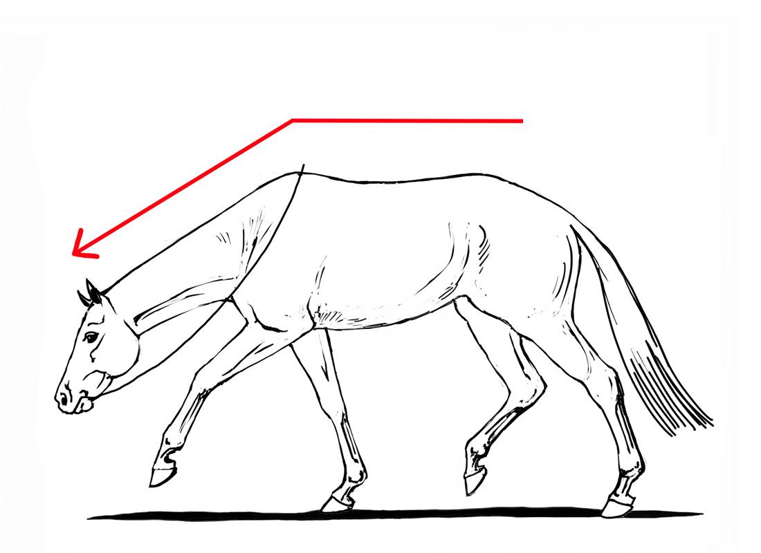 ABC der Pferdeausbildung: Pferd auf der Vorhand durch hingegebenen Zügel