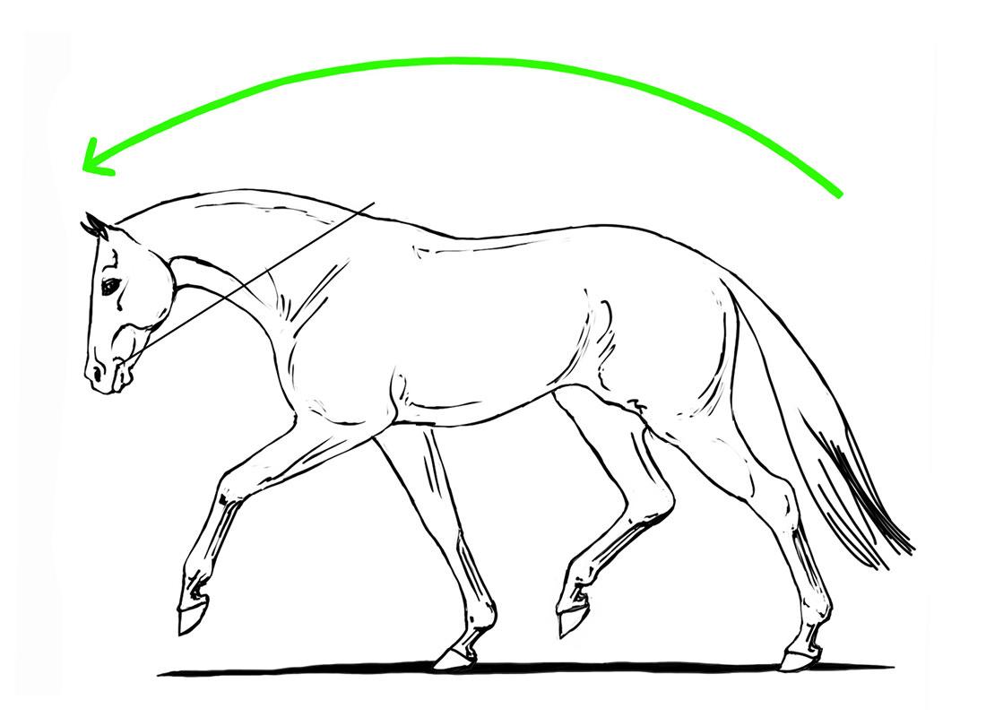 ABC der Pferdeausbildung: die korrekte Dehnungshaltung