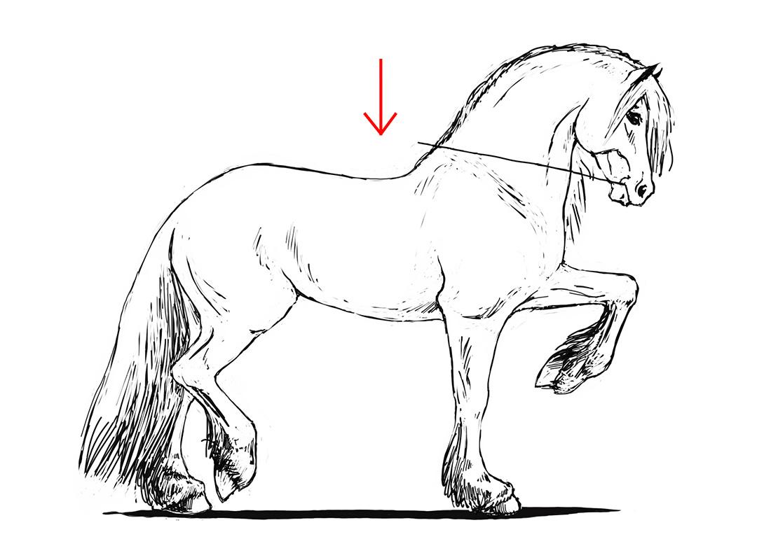 ABC der Pferdeausbildung: absolute Aufrichtung bedingt durch das Exterieur