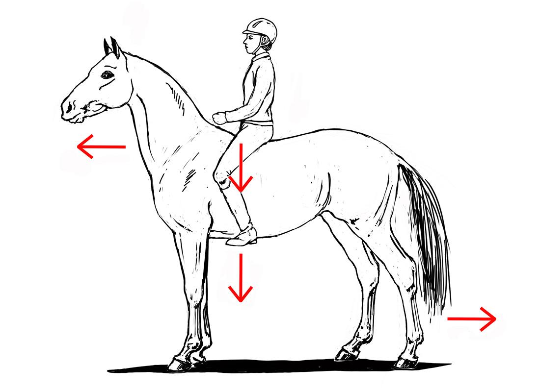 ABC der Pferdeausbildung: nachgebende BWS unter dem Reiter