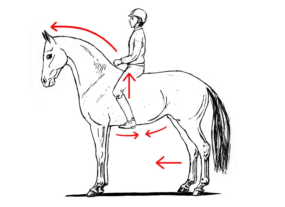 ABC der Pferdeausbildung: künstliches Gleichgewicht mit aufgewölbtem Rücken