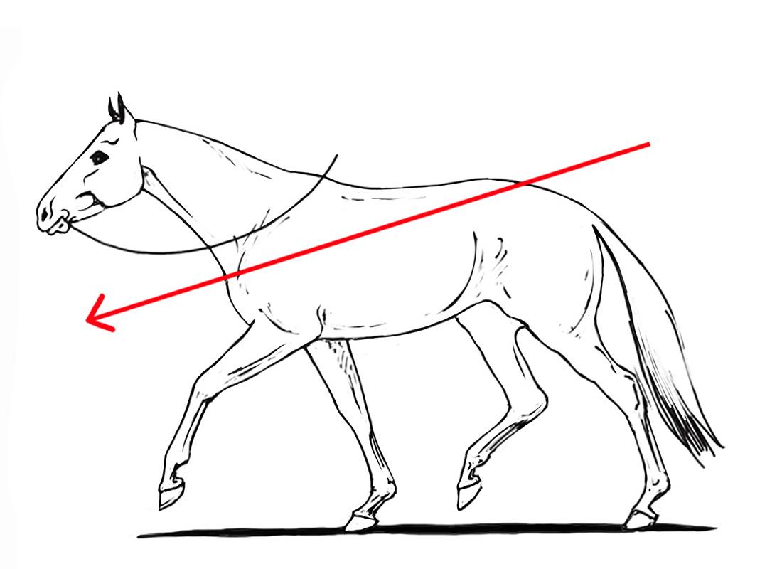 ABC der Pferdeausbildung: durchhängender Rücken am hingegebenen Zügel