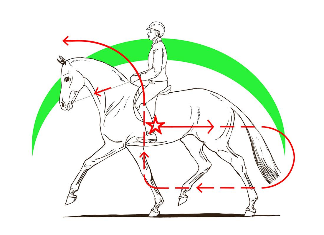ABC der Pferdeausbildung: Spannungsbogen bei der korrekten Anlehnung