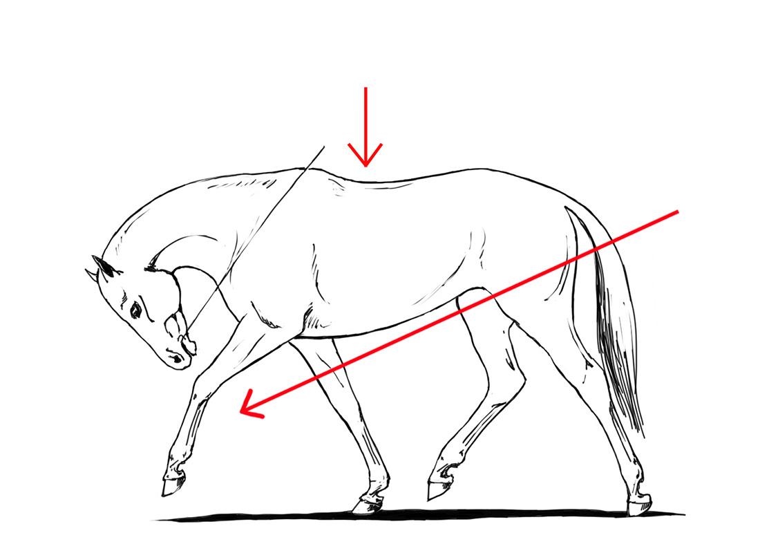 ABC der Pferdeausbildung: erzwungene tiefe Einstellung ist keine Dehnungshaltung